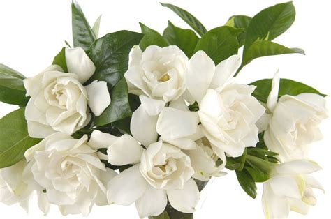 gardenia flowers wedding flowers and symbolism gardenias