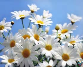 immagini di fiori margherite foto margherite hd foto in alta definizione hd