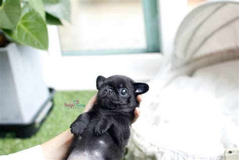 black teacup pug adorable lil gus sold to pa boutique teacup puppies part 1