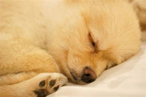 can dogs sleep apnea ways to help dogs sleep eliminating sleep issues herepup