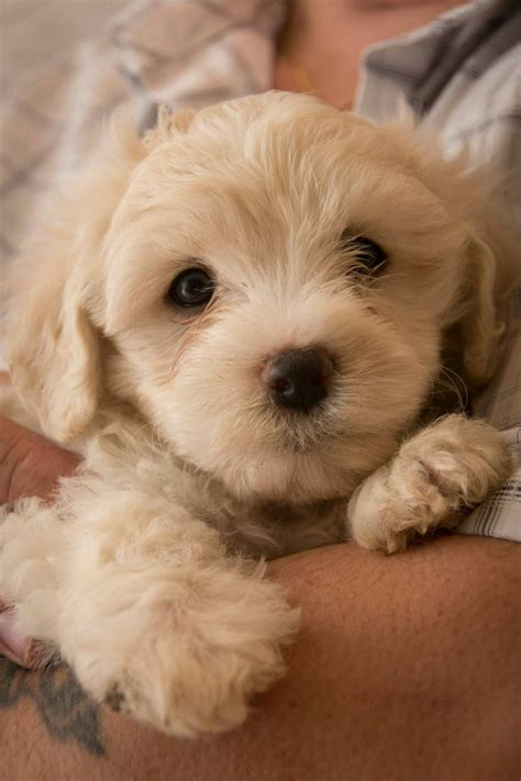 white fluffy dogs last fluffy white cavachon boy puppy waterlooville
