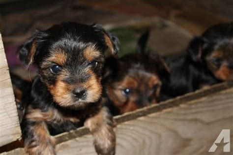 are yorkies born with tails puppies for sale in c mccoy wisconsin classified