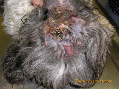How To Shave A Matted by Dogs Country Club Your His Coat And Winter