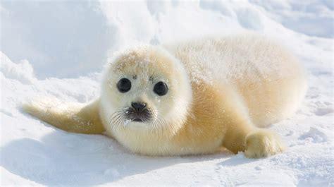 imagenes de focas blancas im 225 genes de focas beb 233 s im 225 genes y fotos