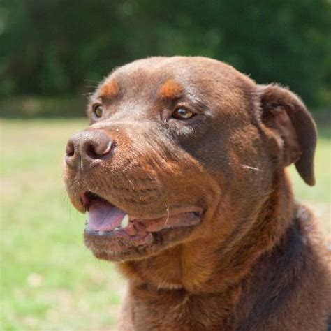 brown rottweiler mastiff rottweiler mix pictures breeds picture