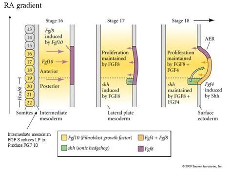pattern formation chick developmental biology 3230