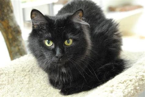 big fluffy black fluffy black cat breeds search black cats black cats