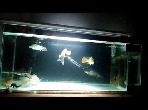 Pakan Ikan Hias Belida ikan aligator gar ikan belida ikan catfish baung jaksa