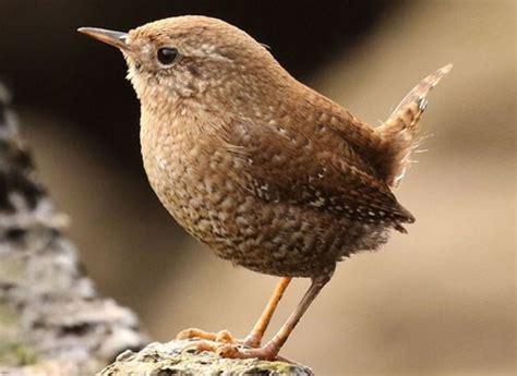 winter wren identification all about birds cornell lab