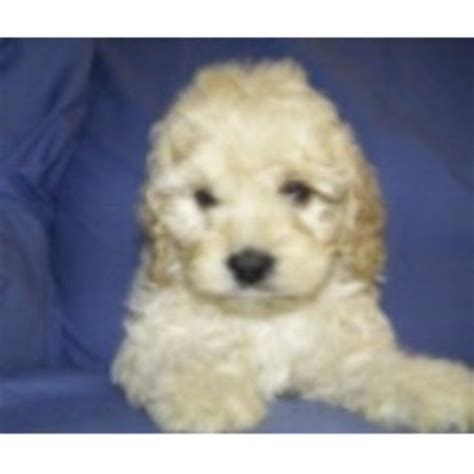 free puppies greenville sc barmor s puppies cockapoo breeder in greenville south carolina