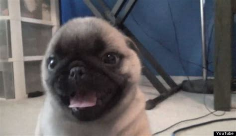 surprised pug surprised with puppy has priceless reaction huffpost