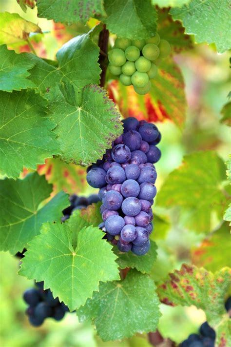 racimo de uvas corel imagenes de racimos de uvas en globos uvas planta fotos