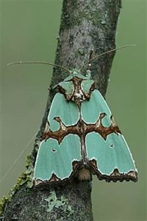 tattoo camo argentina spanish moth habitat throughout the lowland areas of