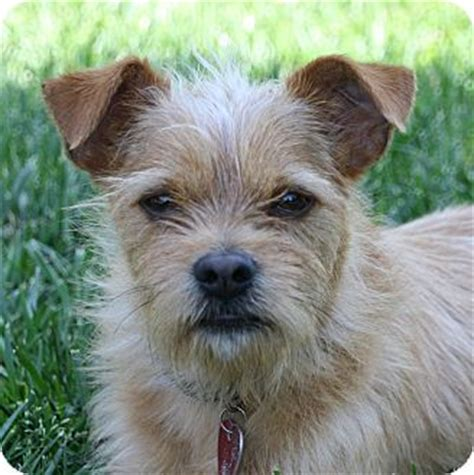 border terrier yorkie mix border terrier yorkie mix breeds picture