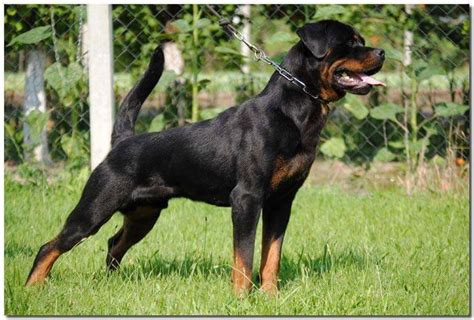 imported rottweiler import german russian rottweiler adults puppies in hoobly classifieds