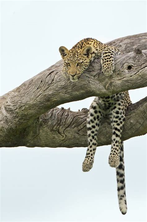 20343 Comfy Leopard White 108 best lions tigers big cats oh my images on big cats cats and cutest