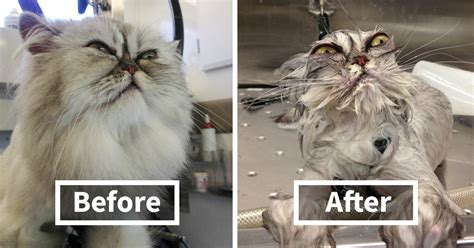 before and after getting your puppy 15 hilarious animals before and after a bath bored panda