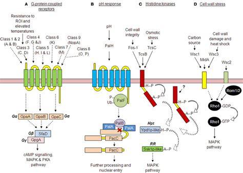 Frontiers | Receptor-mediated signaling in Aspergillus ... G Protein Coupled Receptors Pathway