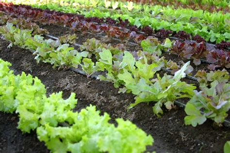 intensive vegetable gardening backyard vegetable biointensive gardening effective