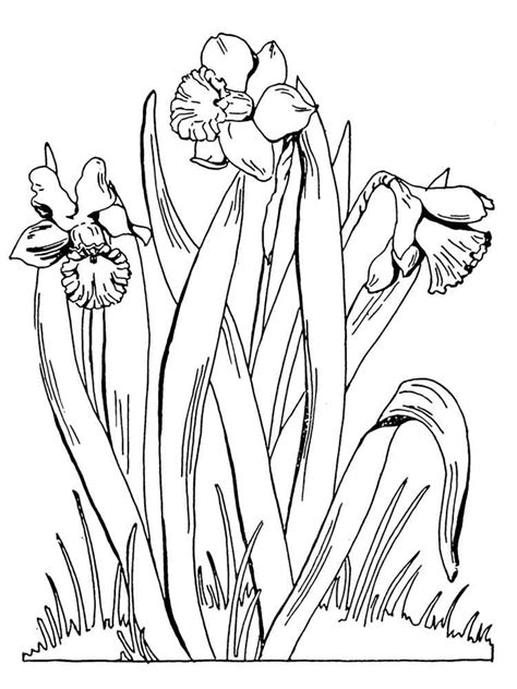 coloring pages daffodil flowers daffodil coloring pages download and print daffodil