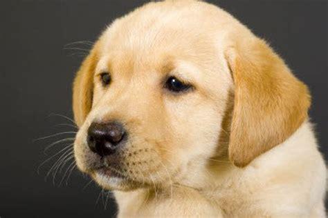 dog house for labrador retriever labrador retriever toilet training tips jpg