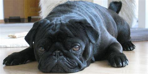 furminator for pugs pug dicas petlove