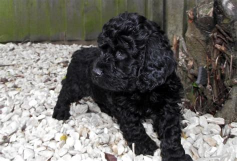 black cockapoo puppies lovely jet black cockapoo puppies weston mare somerset pets4homes