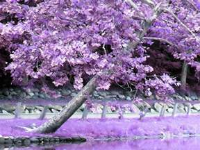 daydreaming images purple tree hd wallpaper and background