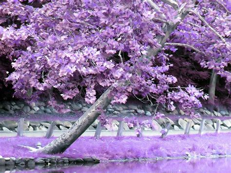 purple tree daydreaming images purple tree hd wallpaper and background