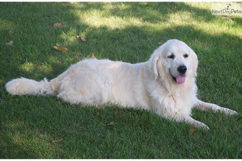 golden retrievers missouri golden retriever puppy for sale near springfield missouri 34c9bb91 a681
