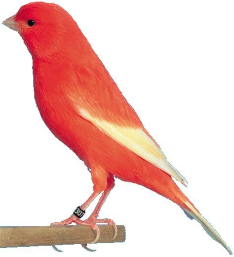 Alas Kandang Pleci pesona burung kenari
