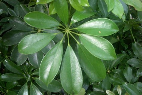 foliage plants names hawaiian schefflera sperling nursery gift shop