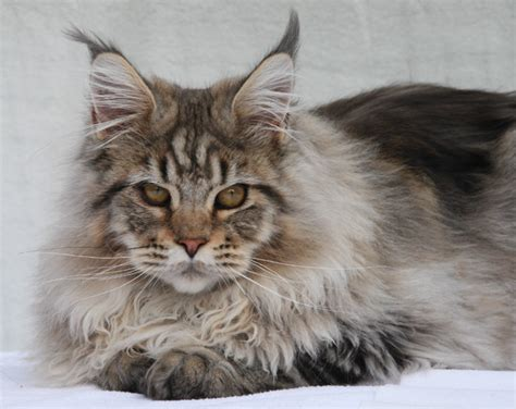nordic lynx maine coon