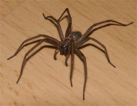 spinnen wohnung hausspinne im natur lexikon