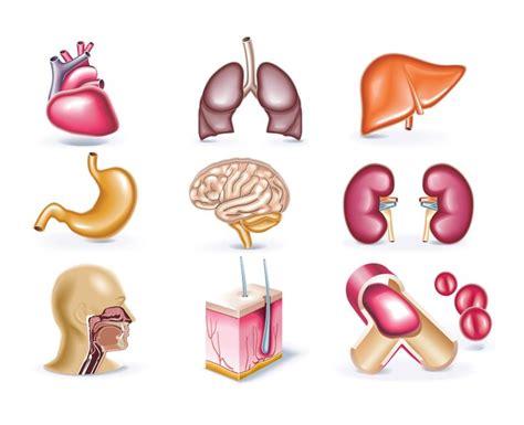 imagenes reales de organos del cuerpo humano 17 best ideas about organos del cuerpo humano on pinterest