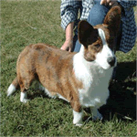 dogs that start with c small breeds that start with quot c quot list