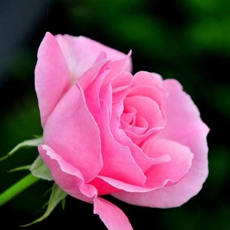 kumpulan galeri gambar bunga mawar pink merah muda cantik