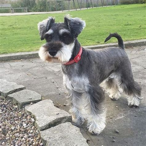 mini schnauzer haircut styles instagram photo by minichernauzer via ink361 com mini