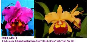 Bibit Anggrek Cattleya orchids anggrekayah