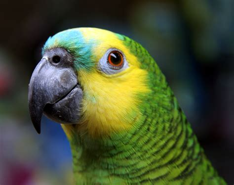 amazon parrot blue fronted amazon parrot tumblr