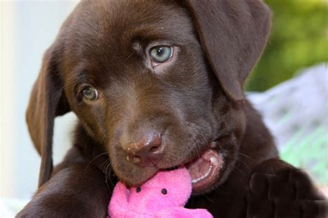 pictures of chocolate lab puppies barefoot labradors of killingworth chocolate lab puppies chocolate puppy 5