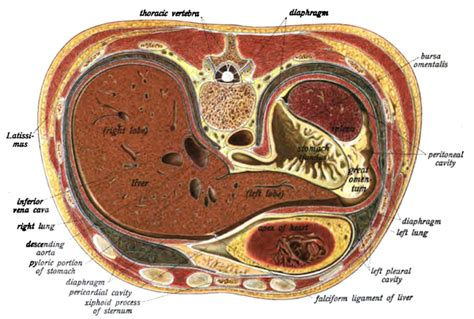 Cross Section Of Stomach by Anatomy And Interpretation Emily Greenleaf