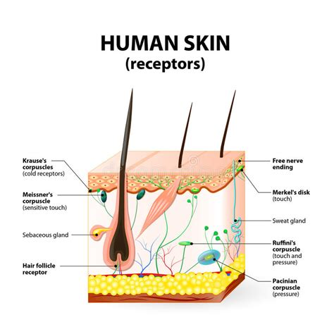 skin cross section diagram human skin layer vector cross section stock vector