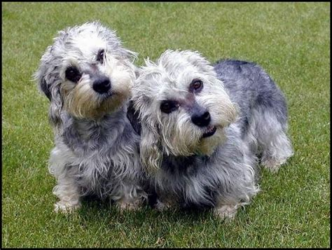 puppy dandie dinmont terrier puppy for your birthday dandie dinmont terrier escaparatedemascotas