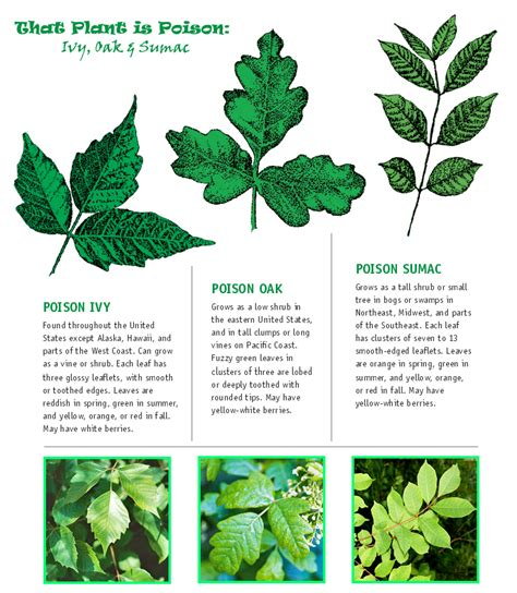 identify poison ivy leaves how to spot poison ivy oak sumac healthy life
