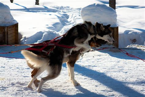 how to breed dogs what it s like to sled in northern sweden the huffington post
