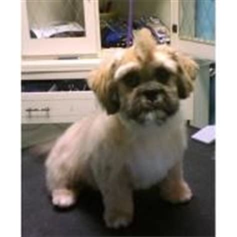 shih tzu mohawk haircut more shih tzus should get mohawks my has a mohawk and she s the same