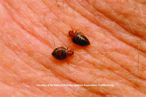 Can You See Bed Bugs With The Eye by Bed Bug Pictures Bed Bug Treatment Site