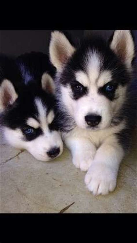 8 week husky puppy 2 husky puppies available on the 30 4 15 8 weeks will come vaccinated vet