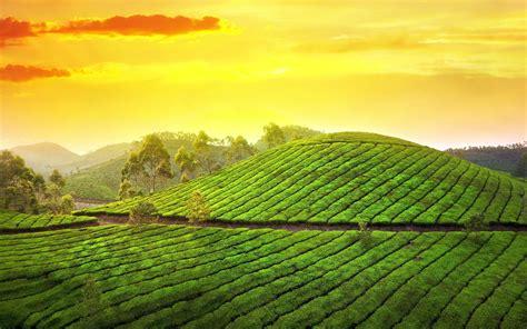 Gardenia Outdoor Sunset Pictures Tea Garden Hd Desktop Wallpapers 4k Hd